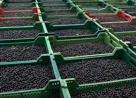 Fresh blackcurrant harvest Zdjęcie Seryjne