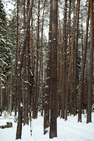 Snow covered trees in the winter Zdjęcie Seryjne