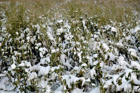 Grass covered by snow Zdjęcie Seryjne