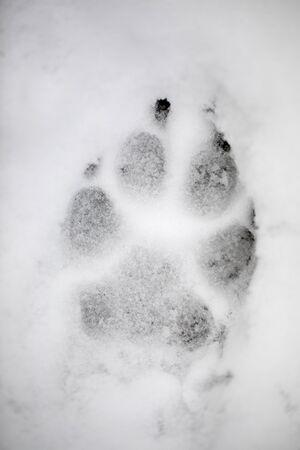 Paw print in winter white snow