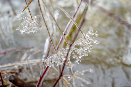 Flowers covered with icicles