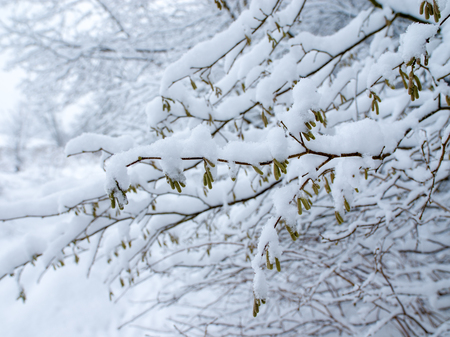 Trees branches covered by snow