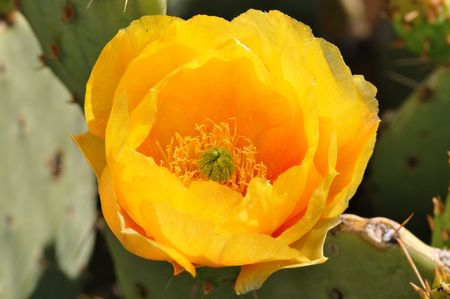 tucson: Yellow Prickly Pear Flower Stock Photo