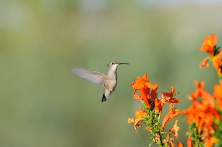Hummingbird hovering over orange flowers Imagens - 8179371