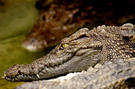 Close up of Crocodile in Thailand . photo