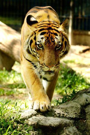 Tiger staring into camera. photo