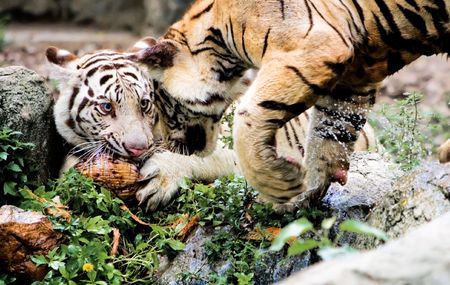 africa kiss: Two Tigers.