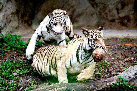Two Tigers. photo