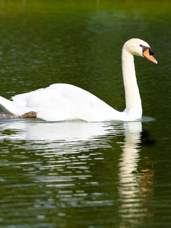 White swan swimming in water with reflection.