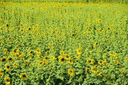 Sunflowers field in Lopburi, Thailand.