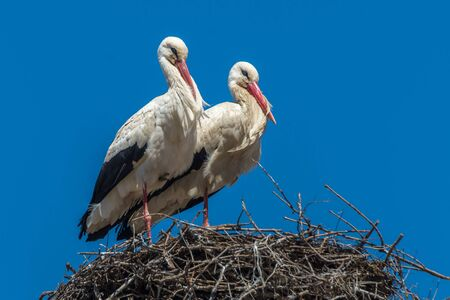 Storks couple in a nest blue sky