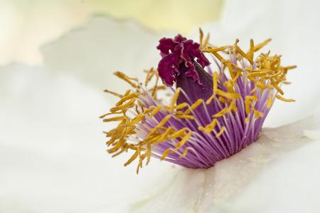 violas: stami di fiore