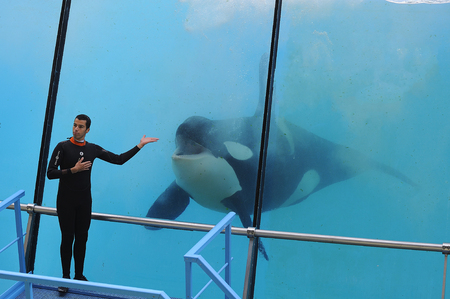killer whale playing a show