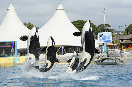 Killer Whale in a show