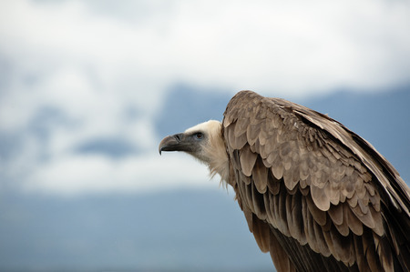 vulture waiting in the cloudy sky Stock Photo