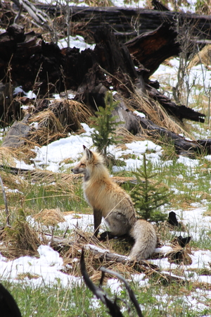 fox in the Yellowstone National Park Stock Photo