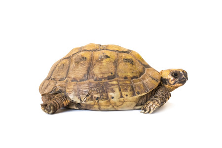 little brown turtle isolated on white background, close-up Stock Photo