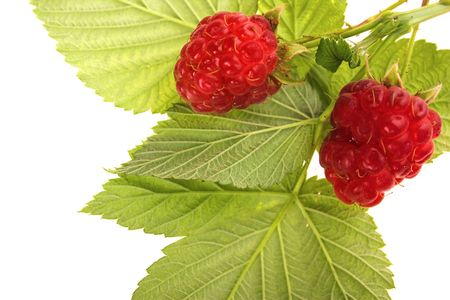Raspberry fruit with stem and leaves Stock Photo - 5650294