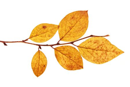senescence: last of autumn leaves on branch isolated on a white background Stock Photo