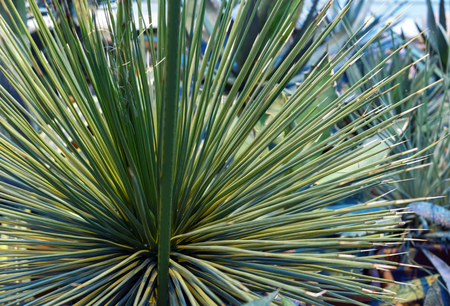 Ornamental Agave plant in the city botanical garden.