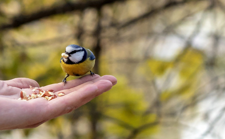 The beautiful titmouse eats a forage from hands of the person.