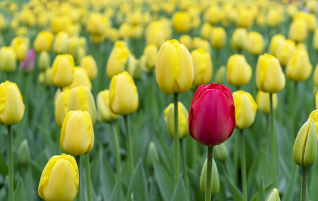 Red tulip in a flowerbed with yellow tulips.
