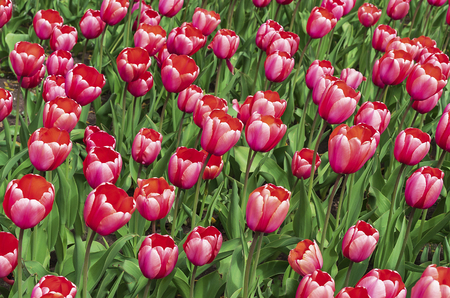 Red-white tulips in a flowerbed of a city garden. Imagens