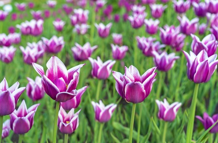 Violet tulips with white border in the form of lilies. Gesners tulip from the lily family. Imagens
