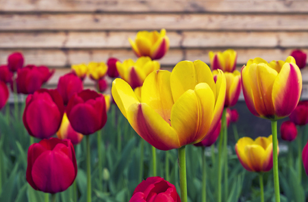 Red and yellow tulips on the background of a wooden house.