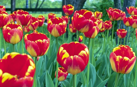 Red tulips with a yellow border in a flowerbed of city park.