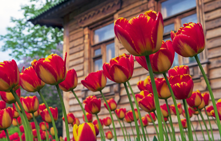 Red tulips with a yellow border against the background of a wooden house.