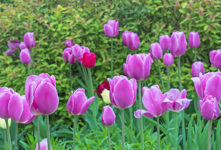 Pink tulips on the background of green shrubs.