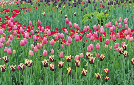 Tulips of different colors in the city garden.