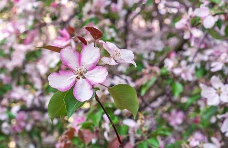 Apple tree blooms in spring. Pink flower of apple tree. Flower background. Stock Photo