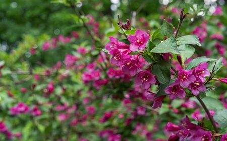 Flowering Weigela. Weigela Evita low-growing shrub with red and pink flowers. Stock Photo
