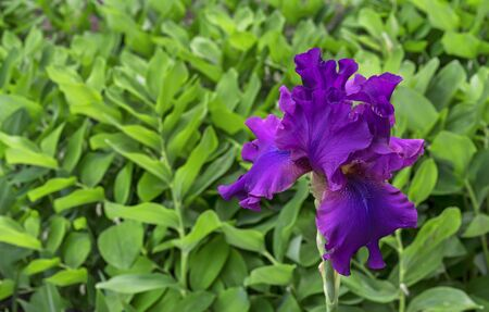 Iris flower. Blooming violet iris, perennial plant of the family Iridaceae.