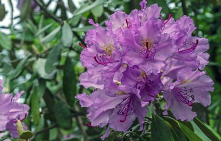 Pacific rhododendron (Rhododendron macrophyllum) is a large-leaved species of Rhododendron native to the Pacific Coast of North America.