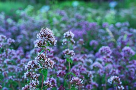 Thyme ordinary in the summer garden. Lilac flowers thyme.