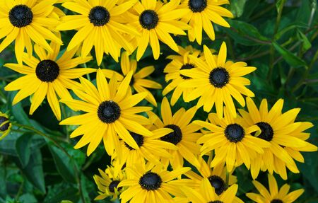 Yellow echinacea or rudbeckia on a green background.
