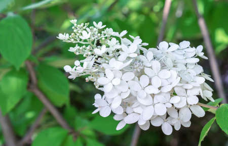 Sprig of white hydrangea is a delicate and romantic flower. Фото со стока
