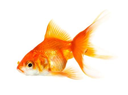 Gold fish Stock Photo - 18980442