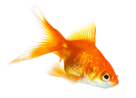 Gold fish isolated on white Stock Photo - 19273127