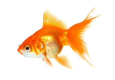 Gold fish isolated on white Stock Photo - 19273158