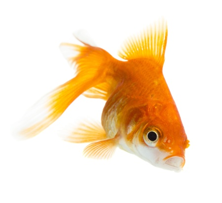 Gold fish isolated on white Stock Photo - 19273130