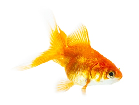 Gold fish isolated on white Stock Photo - 19273151