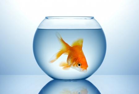 goldfishes: Ciotola di pesce con pesce d'oro in acqua blu Archivio Fotografico