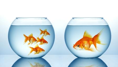 goldfishes: Due acquari con pesci dorare
