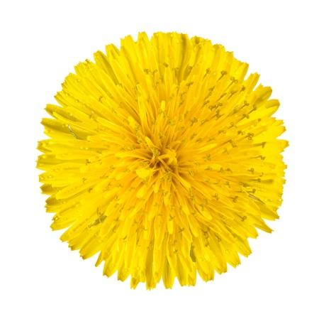 노란 민들레