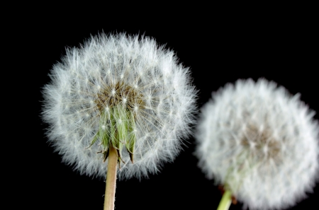 Dientes de le�n con semillas sobre fondo negro Foto de archivo