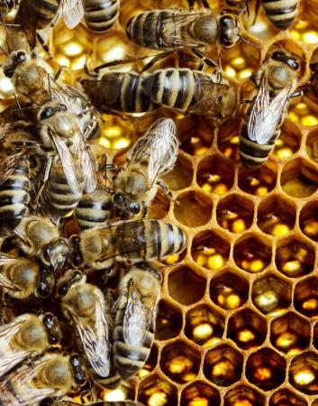 praiseworthy: Working bees on honeycomb, closeup